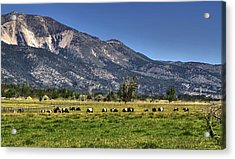 Oreo Cows Acrylic Print by Donna Kennedy