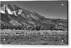 Oreo Cows 2 Acrylic Print by Donna Kennedy