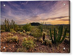 Organ Pipe Cactus Sunset  Acrylic Print by Saija  Lehtonen