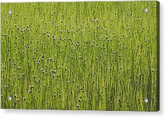 Organic Green Grass Backround Acrylic Print