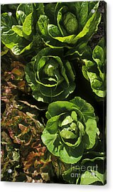 Organic Lettuce Acrylic Print by Craig Lovell