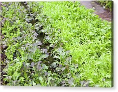 Organic Salad Crops Acrylic Print by Ashley Cooper