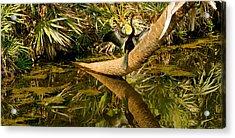 Oriental Darter Anhinga Melanogaster Acrylic Print
