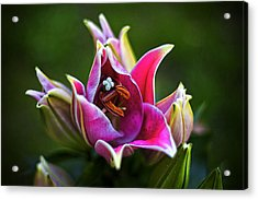 Acrylic Print featuring the photograph Oriental Day Lily by Ben Shields
