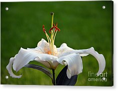 Oriental Hybrid Lily Acrylic Print