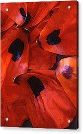 Oriental Poppy IIi Acrylic Print