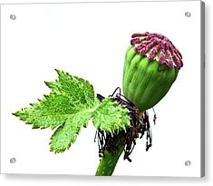 Oriental Poppy Seed Head And Leaf Acrylic Print by Ian Gowland