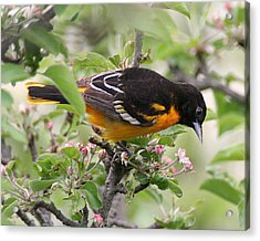 Oriole With Apple Blossoms Acrylic Print