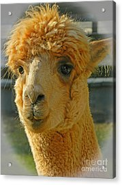 Orion The Alpaca 2 Acrylic Print by Emmy Marie Vickers