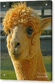 Orion The Alpaca Acrylic Print by Emmy Marie Vickers