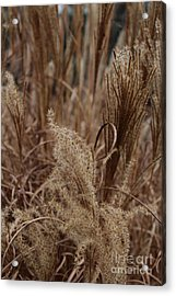 Ornamental Grass Acrylic Print by Arlene Carmel
