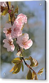 Ornamental Plum Tree Pink Flower Blossoms Acrylic Print by Jennie Marie Schell