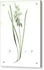 Ornithogalum Nutans, Ornithogale Penché Drooping Star Acrylic Print