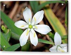 Ornithogalum Umbellatum Flower Acrylic Print