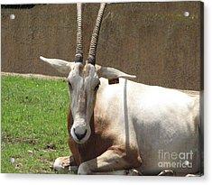 Oryx Acrylic Print by DejaVu Designs