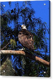 Acrylic Print featuring the photograph Osprey 005 by Chris Mercer