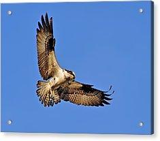 Osprey Beauty Acrylic Print