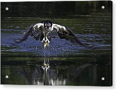 Osprey Bird Of Prey Acrylic Print by David Lester
