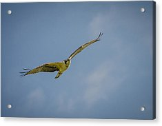 Acrylic Print featuring the photograph Osprey by Bradley Clay