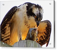Acrylic Print featuring the photograph Osprey Breakfast by Dianne Cowen