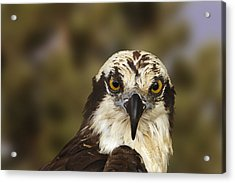 Osprey  Acrylic Print by Brian Cross