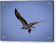 Osprey Carrying Fish  Acrylic Print