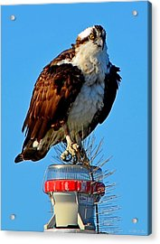 Acrylic Print featuring the photograph Osprey Close-up On Water Navigation Aid by Jeff at JSJ Photography