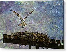 Osprey-coming Home Acrylic Print
