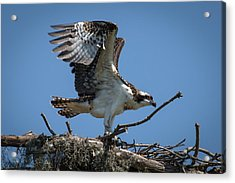 Osprey Departing Nest Acrylic Print