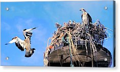 Acrylic Print featuring the photograph Osprey Family by David Rich