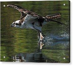 Osprey Hunter Acrylic Print by Kenneth Haley