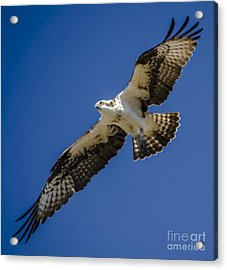 Acrylic Print featuring the photograph Osprey In Flight by Dale Powell