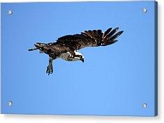 Osprey In Flight Acrylic Print by Darrin Aldridge