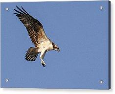 Osprey In Flight Acrylic Print by Jill Bell