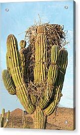 Osprey Nest In A Cactus Acrylic Print by Christopher Swann