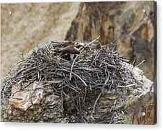 Osprey Nest Acrylic Print by Jill Bell