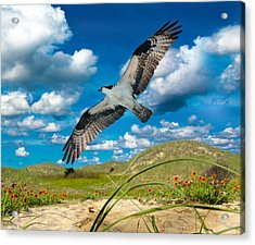 Osprey On Shackleford Banks Acrylic Print by Betsy Knapp