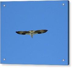 Osprey On The Fly Acrylic Print