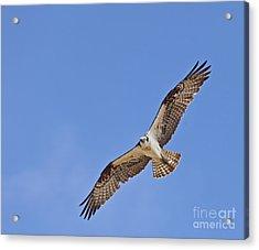 Osprey Pandion Haliaetus In Flight Acrylic Print by Liz Leyden