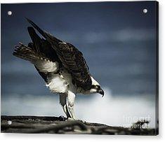 Osprey Ready For Takeoff Acrylic Print by Richard Mason
