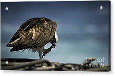 Osprey Scratchin' Acrylic Print by Richard Mason