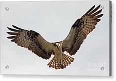 Osprey Spread Acrylic Print