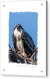 Osprey Surprise Party Card Acrylic Print by Edward Fielding