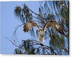 Osprey Take Off Acrylic Print by Mr Bennett Kent