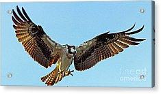 Osprey Talons First Acrylic Print