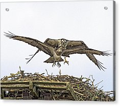 Osprey Wings And Talons Acrylic Print by Constantine Gregory