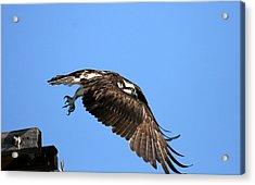 Osprey Wings Forward Acrylic Print by Darrin Aldridge