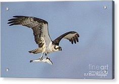 Osprey With Dinner Acrylic Print