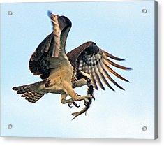 Osprey With Fish 1-6-15 Acrylic Print