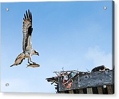 Osprey With Fish Acrylic Print by Bonnie Fink